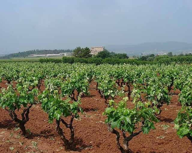 Bages vineyards