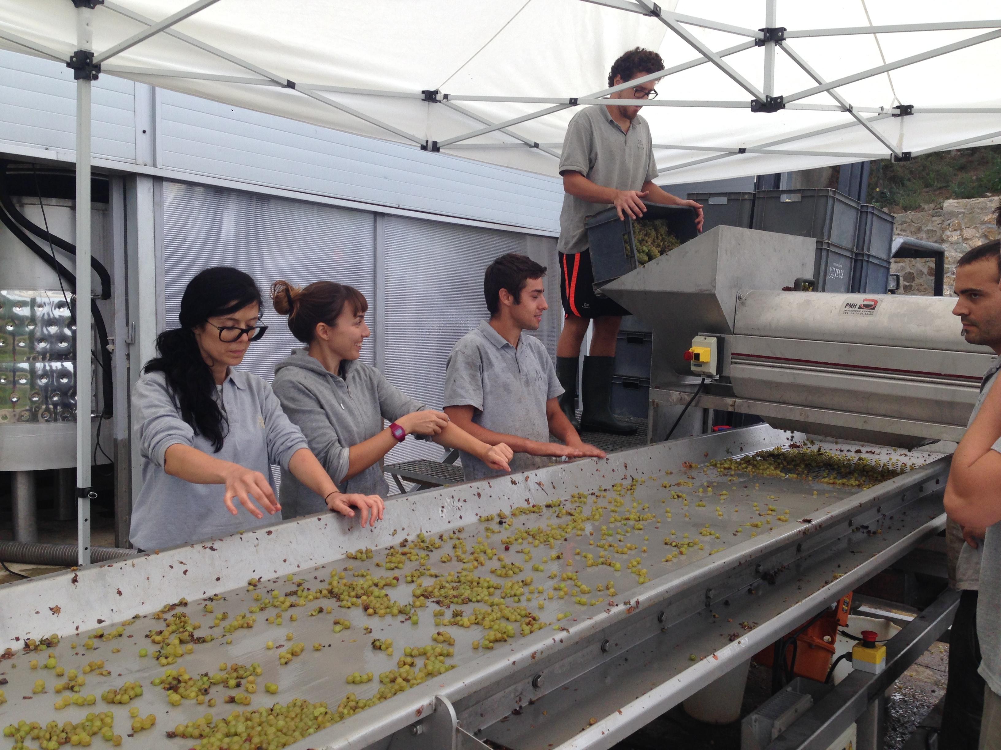 Alta Alella 2014 Harvest
